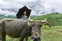 Sapa waterbuffel Vietnam