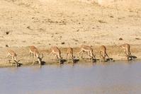 Bokken Kruger nationaal park Zuid-Afrika