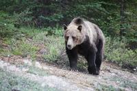 Zwarte beer Canada