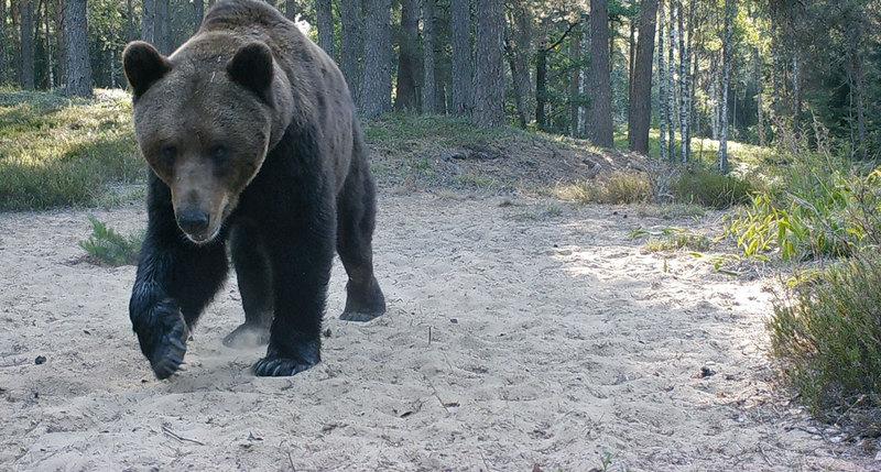 Wit- Rusland - natuurreis - beer