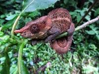 Kameleon Madagascar