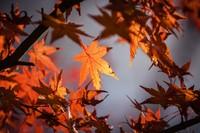 Hefstkleuren Japanse kers