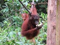 rondreis djoser maleisie sepilok orang-oetan