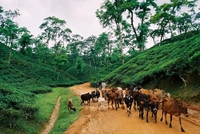 Theevelden runderen Bangladesh