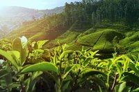 Thee Plantage Sri Lanka