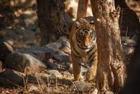 Ranthambore NP tijger India Djoser