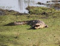 Krokodil in St Lucia nationaal park, Zuid-Afrika
