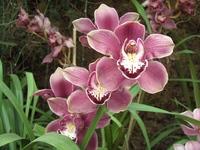 Orchidee 'plantentuin van de Himalaya' Gangtok India Djoser
