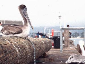 Santan Barbara - pelikanen