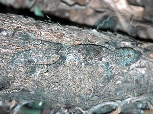 Perinet – gekko met schutkleur