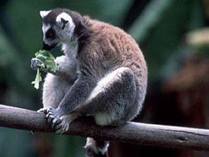 Ranomafana National Park – ringstaart lemuur