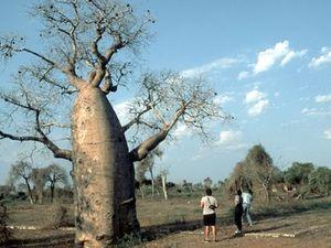 Ifaty – baobab met wandelaars