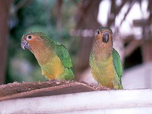 Galibi – jonge papegaaien