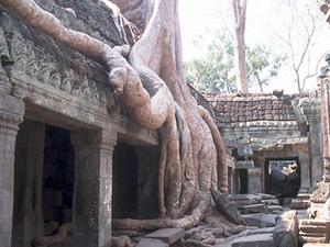 Angkor - Ta Phnom, boomstam