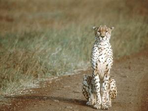 Etosha – cheetah