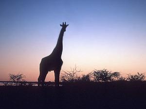 Okvangodelta - giraffe