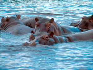 South Luangwa - nijlpaard