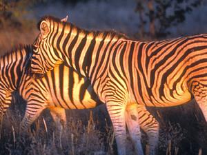 Serengeti – Burchell zebra