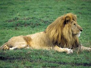 Serengeti – leeuw