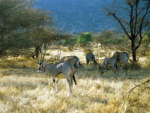 Samburu NP – oryxen