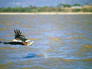 Lake Baringo - visarend