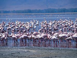 Lake Nakuru – flamingo's
