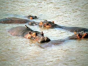 Lake Navaisha - nijlpaarden
