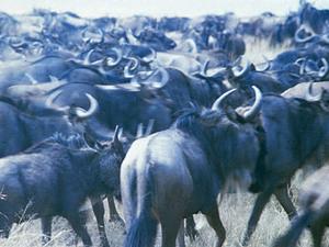 Masai Mara - trekkende gnoe's