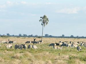 Nxai Pans nationaal park - zebra's