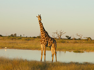 Chobe Nationaal park - giraffe