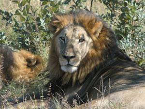 Chobe Nationaal park - leeuwen