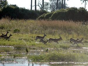 Moremi game reserve - rode lechwe