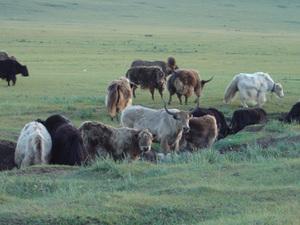 Kampeerplaats - drinkende koeien